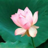Lotus21024