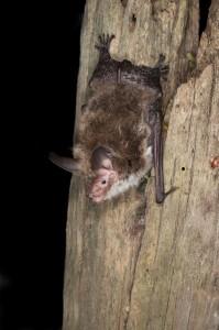 Bechstein's bat / Hugh Clark